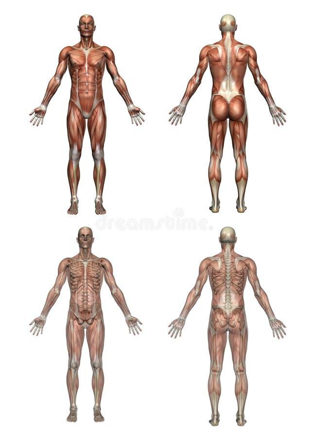 мужчина анатомирования иллюстрация вектора