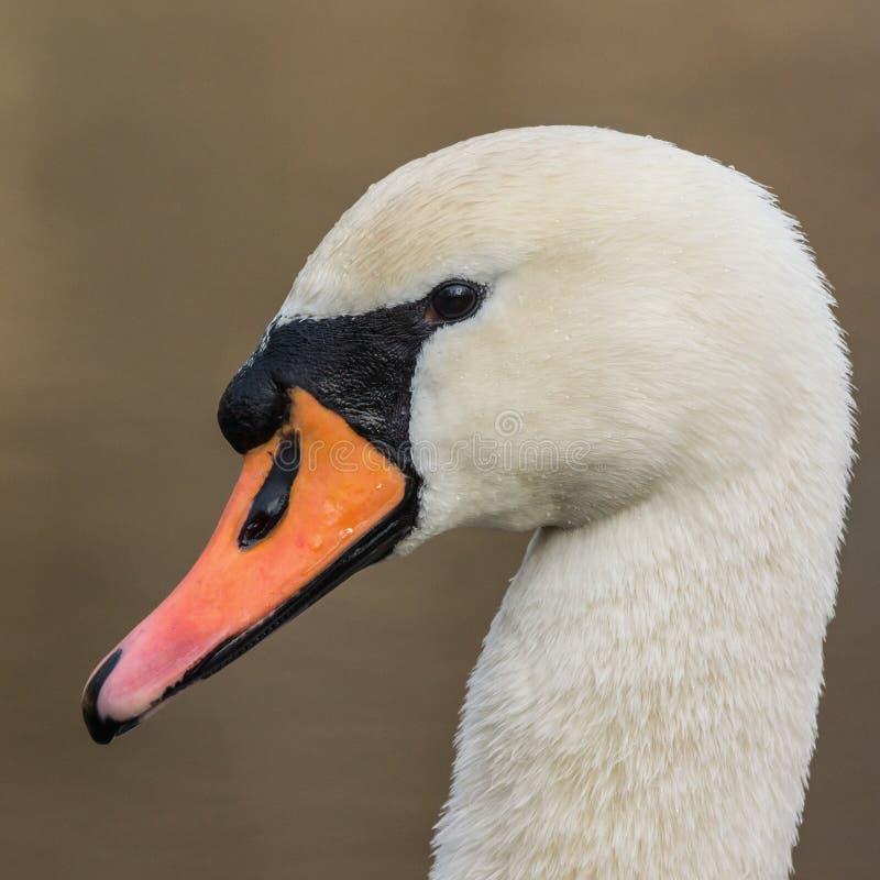 Мужчина безгласного лебедя стоковое изображение rf