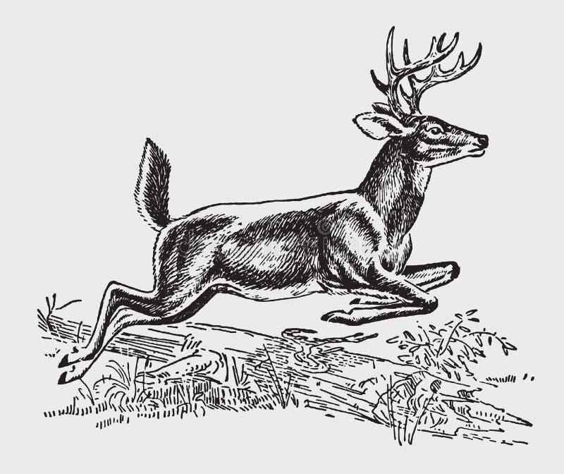 Мужчина бело-замкнули или virginianus американского оленя оленей Вирджинии скача над лежа стволом дерева иллюстрация штока
