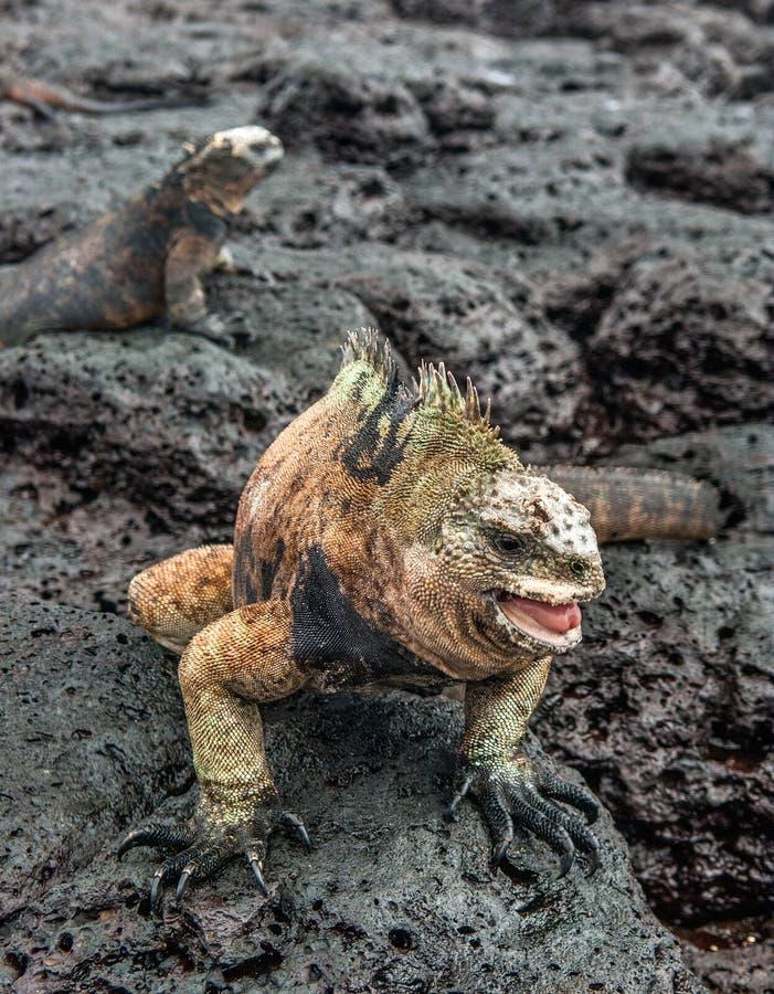 Мужчина игуаны Галапагос морской стоковая фотография