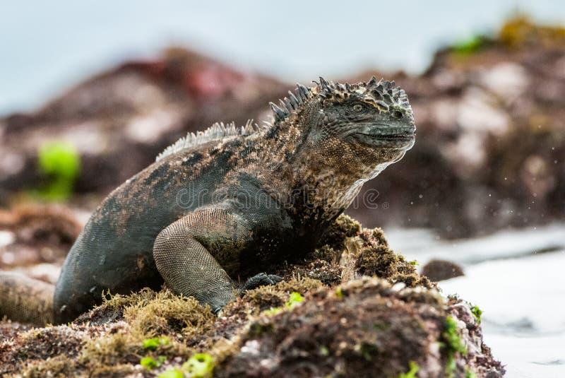 Мужчина игуаны Галапагос морской стоковые изображения rf