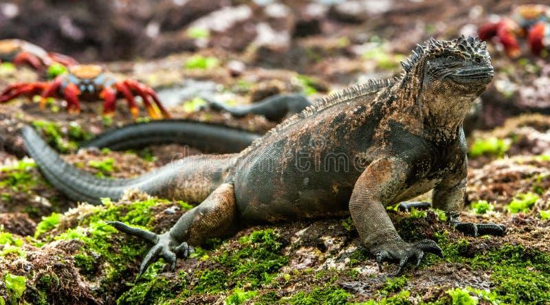 Мужчина игуаны Галапагос морской стоковое фото rf
