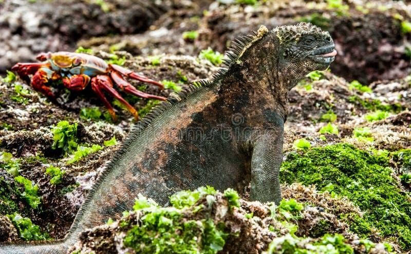 Мужчина игуаны Галапагос морской стоковые фотографии rf