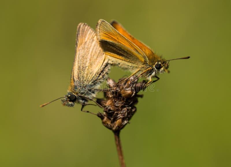 Мужчина и женские малые бабочки шкипера сопрягая 2 стоковое фото