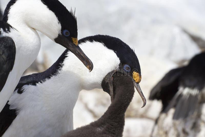 Мужчина и женский голубоглазый антартический баклан который подает хи стоковые фото