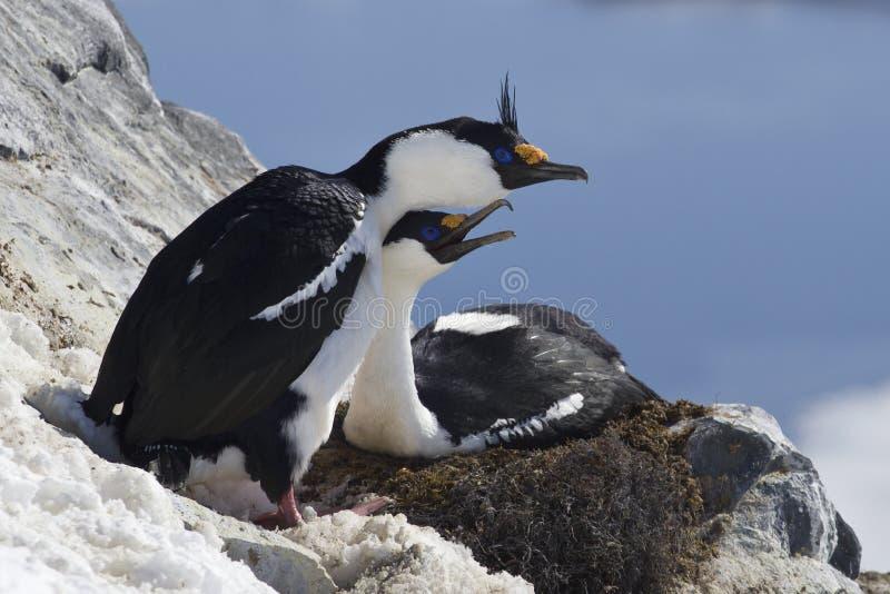 Мужчина и женский голубоглазый антартический shag сидя в гнезде на th стоковая фотография