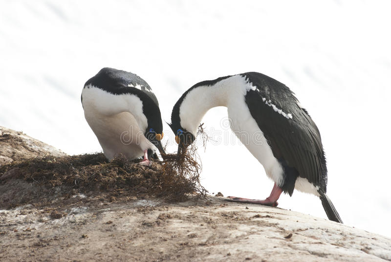 Мужчина и женский приантарктический голубоглазый баклан строят гнездй. стоковые фотографии rf