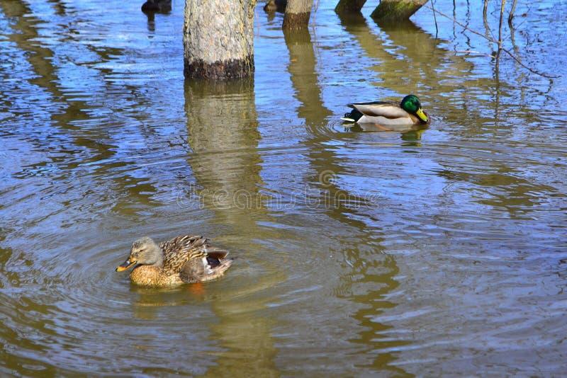 Мужчина и женское плавание утки кряквы на пруде с зеленой водой пока ищущ еда стоковые фотографии rf