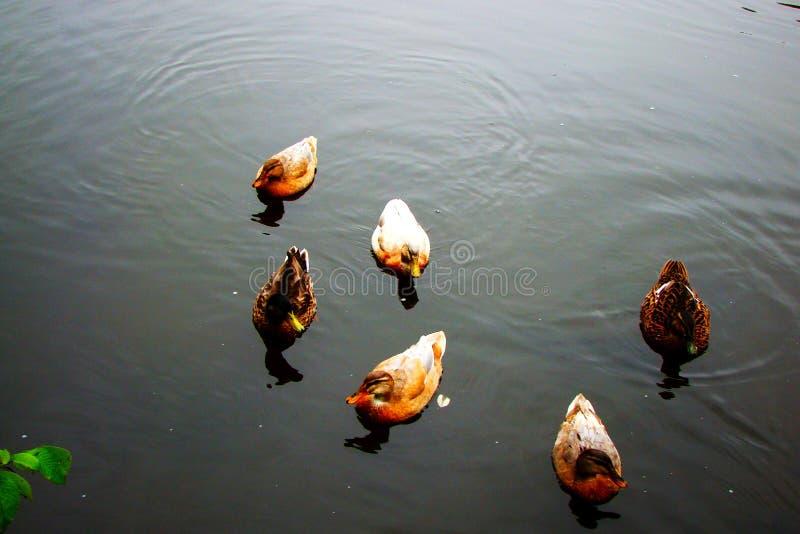 Мужчина и женское плавание утки кряквы на пруде стоковое фото rf