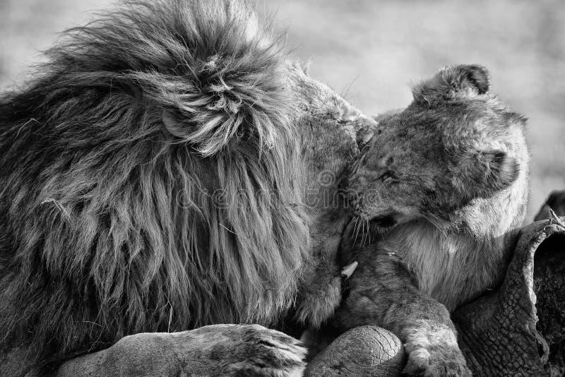 Мужчина льва с огромной игрой гривы с его новичком на туше в художественном преобразовании стоковые изображения rf