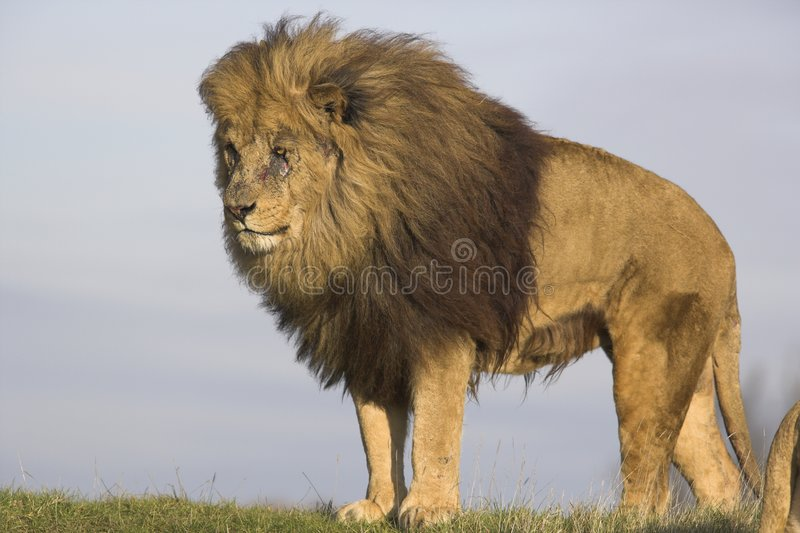 мужчина льва стоковое изображение