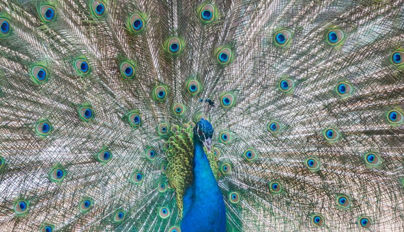 Мужчина павлина с зеленым и голубым кабелем стоковое изображение rf