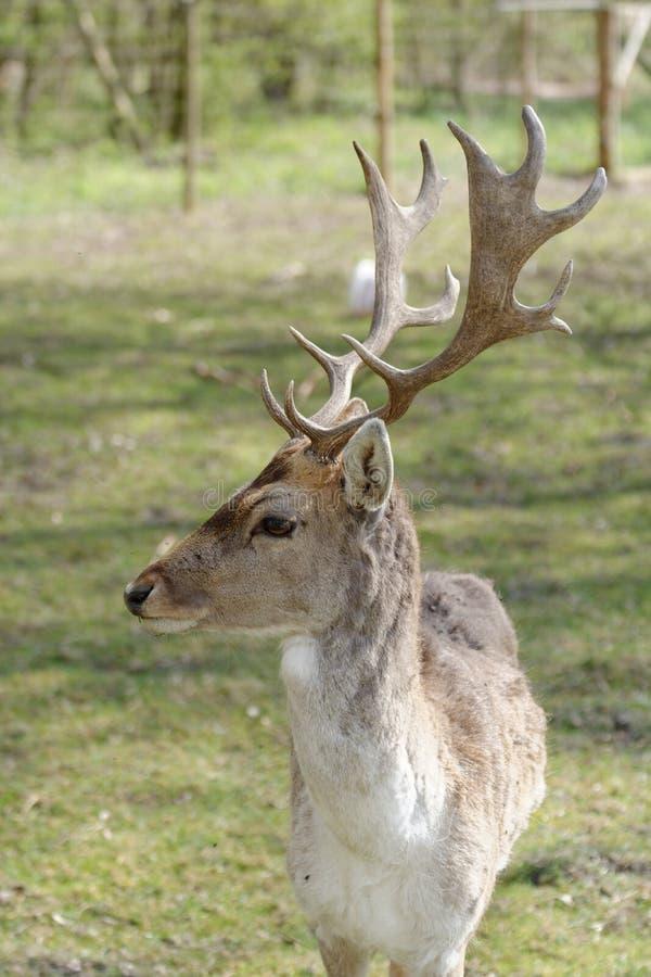 мужчина перелога оленей стоковое изображение