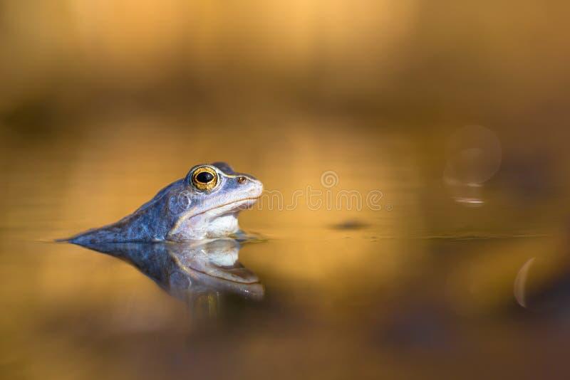 Мужчина причаливает arvalis Раны лягушки в чехии стоковая фотография rf
