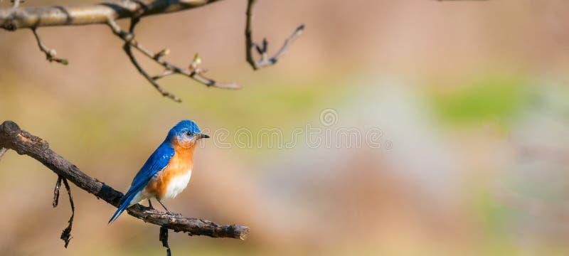 мужчина синей птицы восточный стоковые фотографии rf