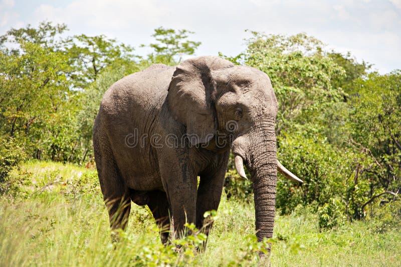 мужчина слона стоковое фото rf