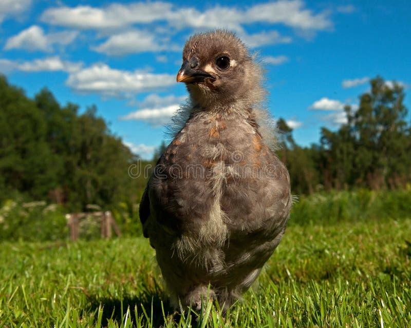 Мужчина цыпленка 3 недель старый, от породы Hedemora в Швеции стоковая фотография