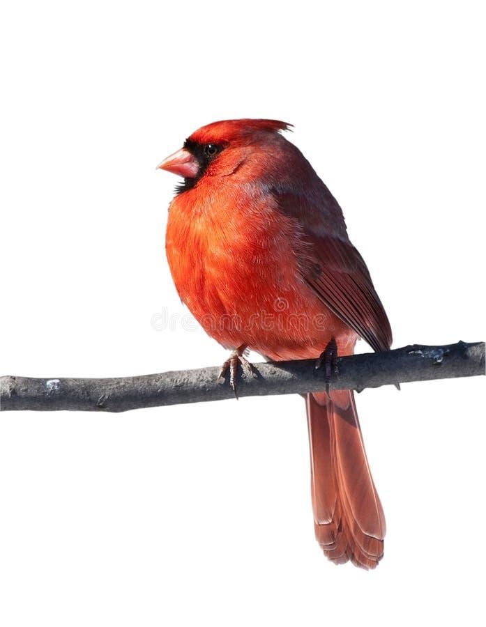 мужчина cardinal птицы стоковые изображения