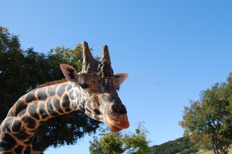 мужчина giraffe стоковые фотографии rf