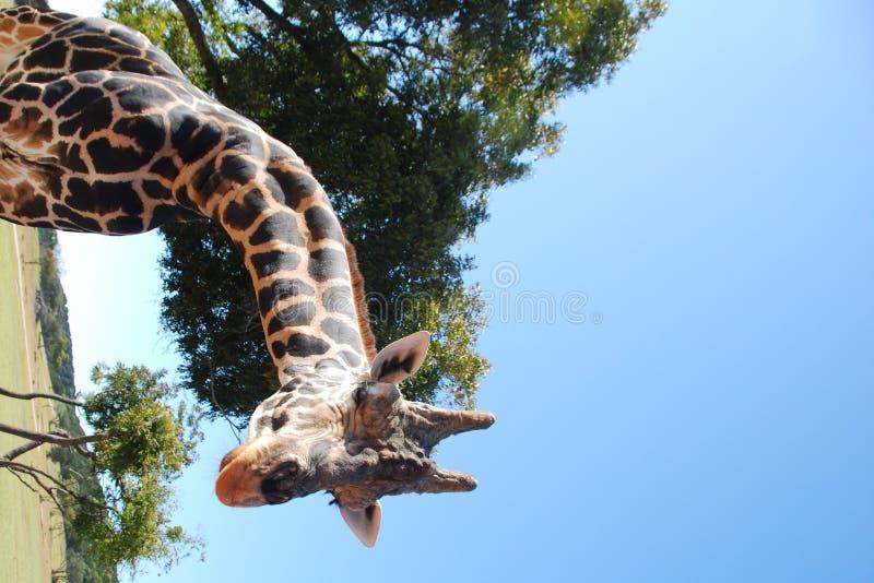 мужчина giraffe стоковые изображения rf