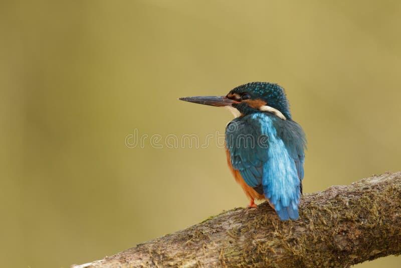 мужчина kingfisher стоковое фото