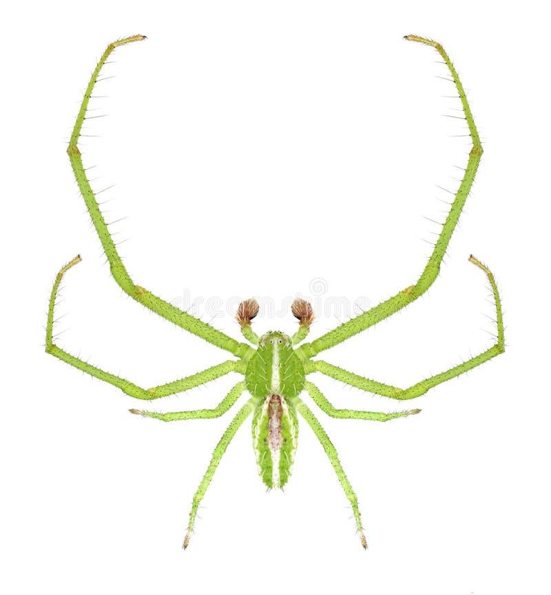 Мужчина melloteei Heriaeus паука стоковые изображения rf
