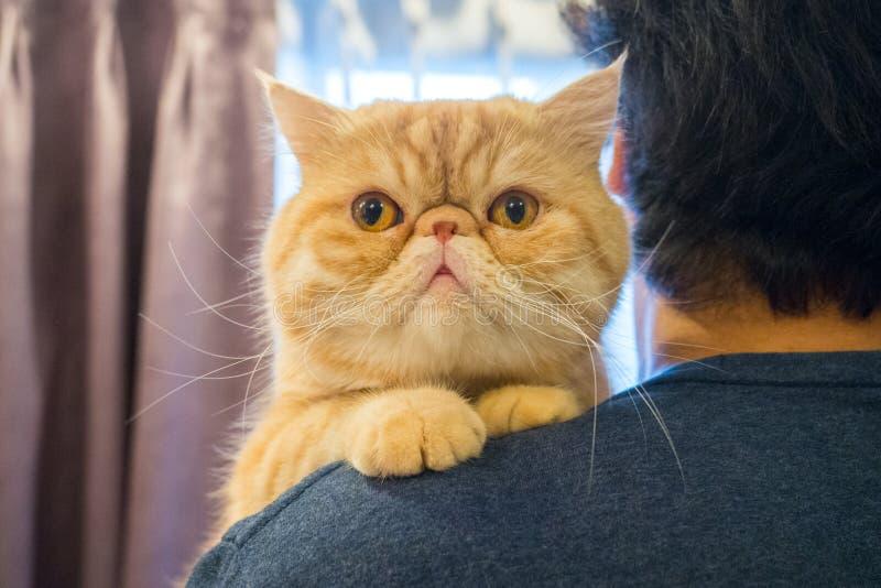 Мужчины проявляют любовь к животным, держа на своих плечах милую экзотическую оранжевую кошку Кот улыбается и смотрит на камеру стоковые фото