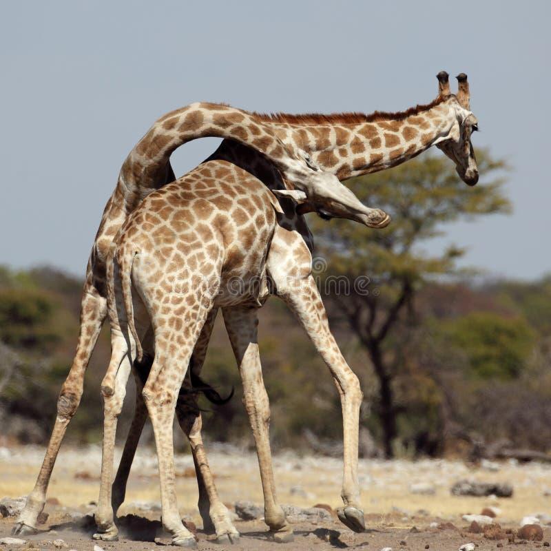 мужчины giraffe бой стоковое изображение rf