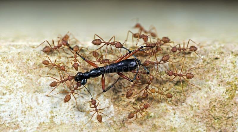 Муравей, красный муравей стоковое изображение