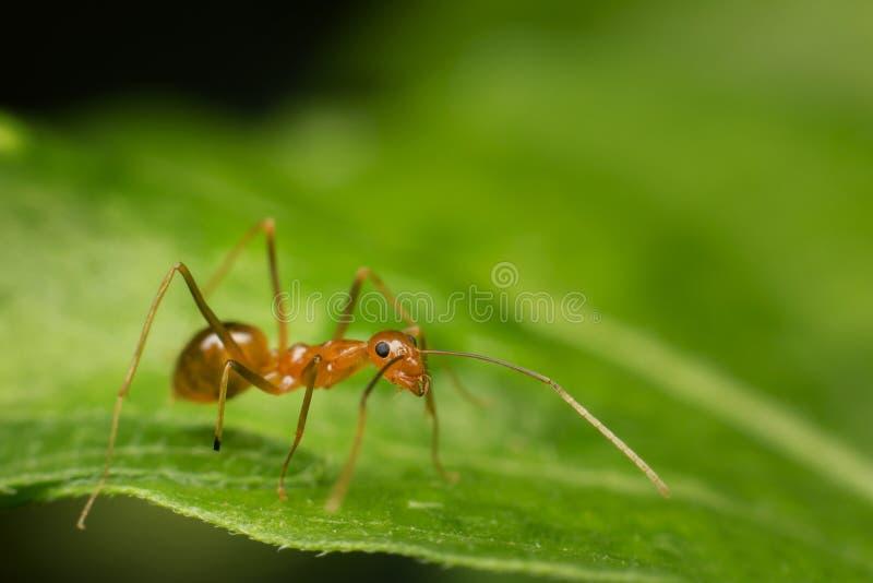 Муравей на зеленых лист, предпосылка муравья стоковые изображения rf