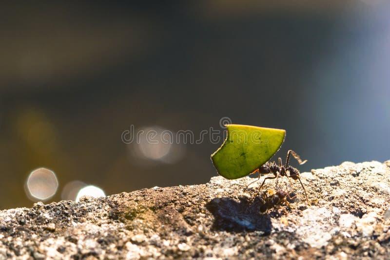 Муравей резца лист нося часть зеленых лист стоковая фотография rf