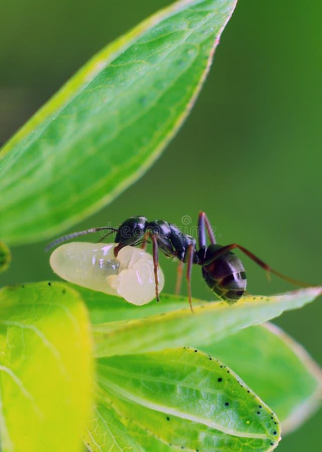 муравей стоковые фотографии rf