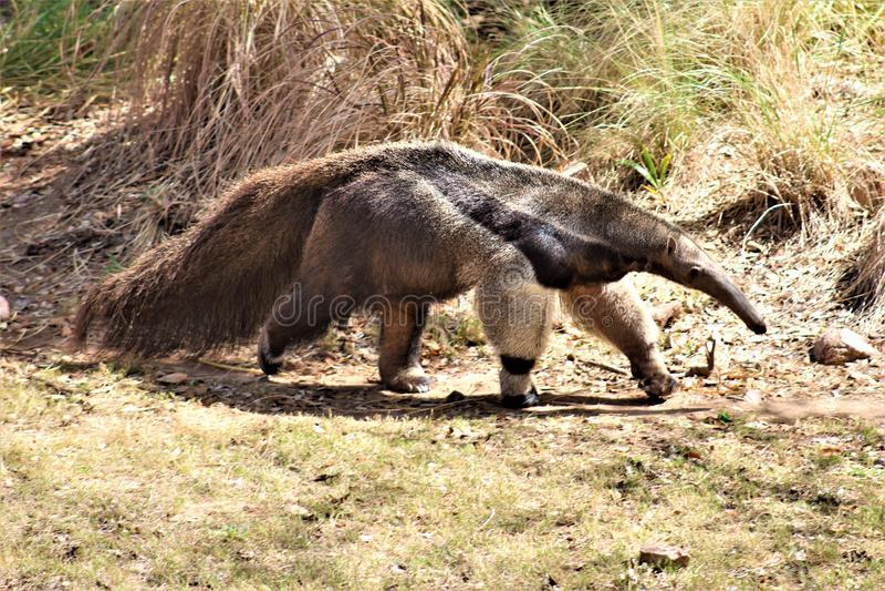 Муравьед, зоопарк Феникса, центр для охраны окружающей среды, Феникс Аризоны, Аризона, Соединенные Штаты стоковое изображение rf