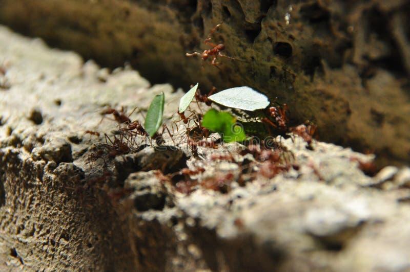 Муравьи вырезывания лист собирают запас, части лист для гриба растя в центральных американских джунглях Панама стоковая фотография