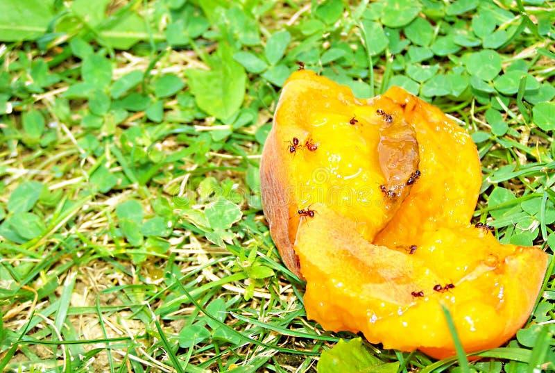 Муравьи и абрикос стоковое изображение rf