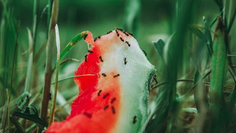 Муравьи на арбузе стоковые изображения