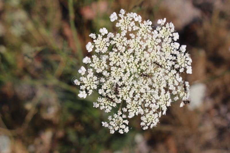 Муравьи на белом цветке стоковые изображения