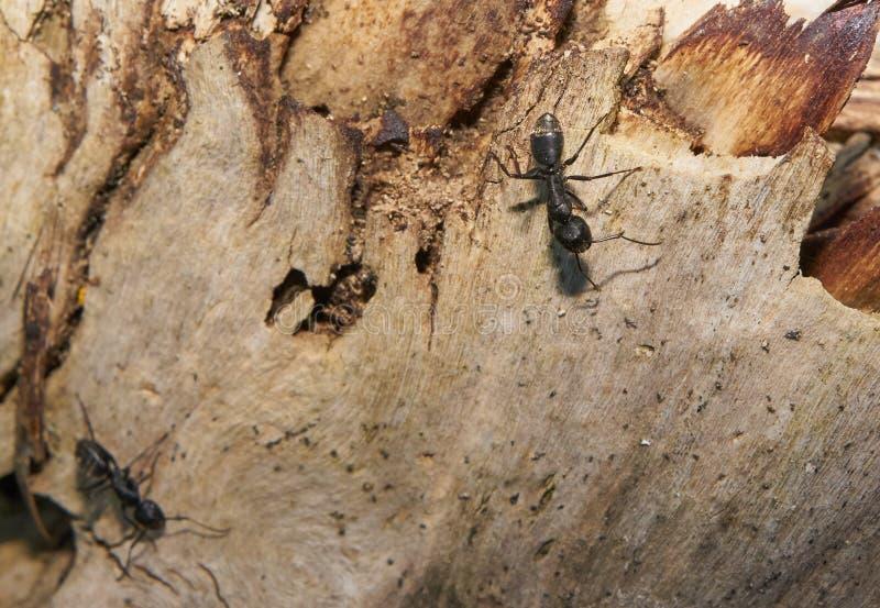 Муравьи на деятельности ствола дерева для того чтобы построить укрытие в лесе весной стоковое фото rf