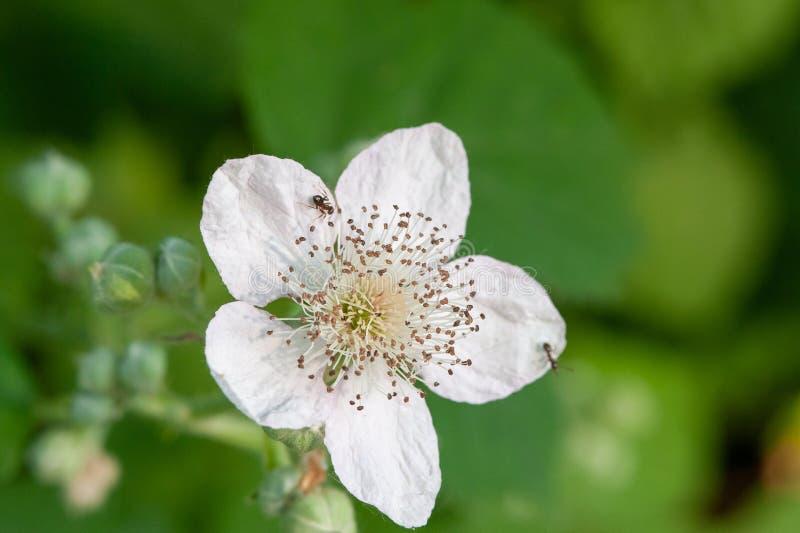 Муравьи на цветке бутона ежевики стоковые изображения rf