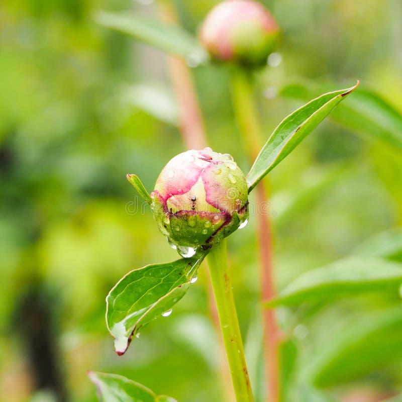 Муравьи раскрывая цветение пиона стоковые фото