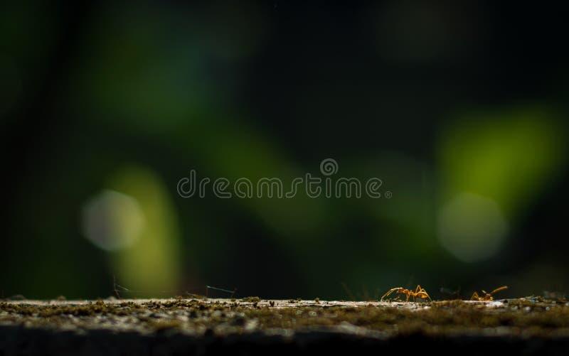 Муравьи ткача или зеленые муравьи eusocial насекомые Formicidae семьи стоковые изображения rf
