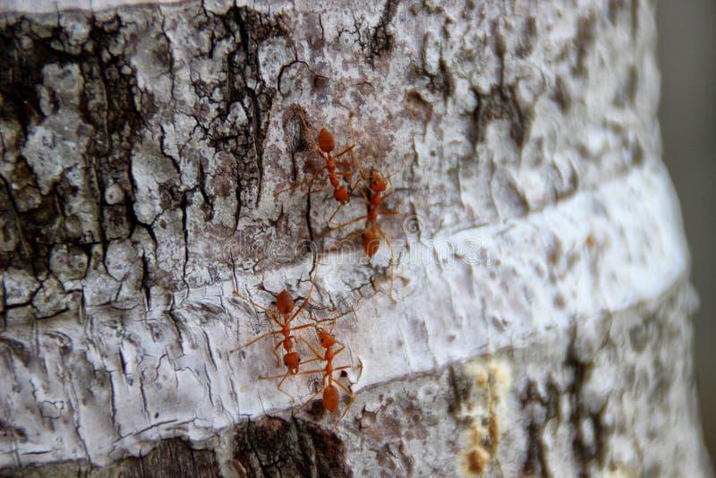 Муравьи ткача или зеленые муравьи стоковое изображение rf