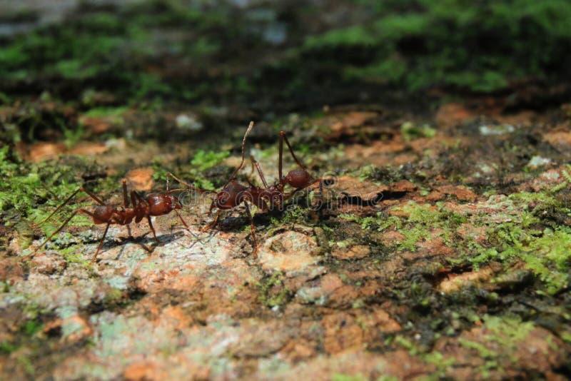 2 муравья резца лист солдата который greating один другого стоковое изображение