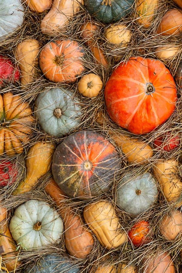 Мускат установленной сезонной тыквы дизайна фермы хранения сена овощей традиционной оранжевой зеленый длинный стоковые изображения