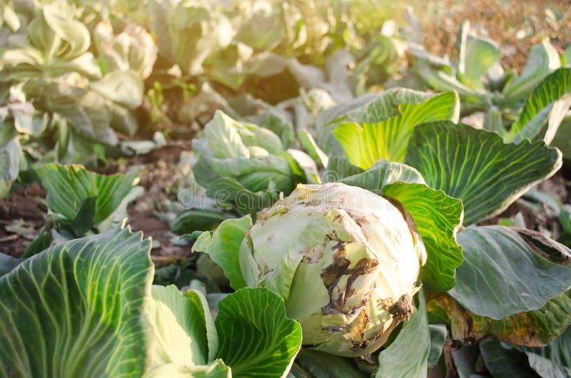 Мусный бактериоз капусты с белоголовым покрытием Поражение овощей от болезней на поле Плохой урожай Сельское хозяйство стоковая фотография rf