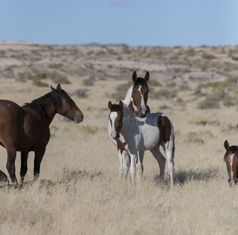 Мустанги табуна Onaqui одичалые в большом тазе пустыни, Юте США стоковые изображения rf