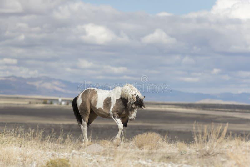 Мустанги табуна Onaqui одичалые в большом тазе пустыни, Юте США стоковое фото rf