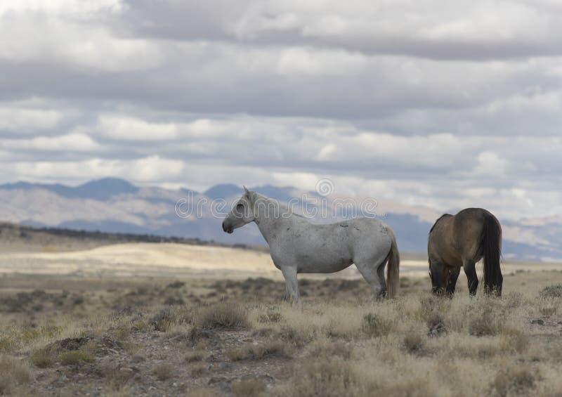 Мустанги табуна Onaqui одичалые в большом тазе пустыни, Юте США стоковая фотография rf