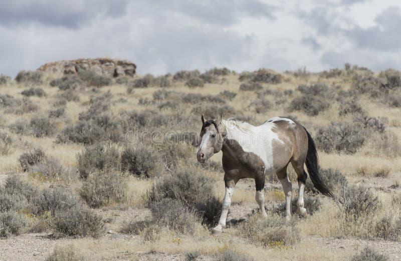 Мустанги табуна Onaqui одичалые в большом тазе пустыни, Юте США стоковая фотография