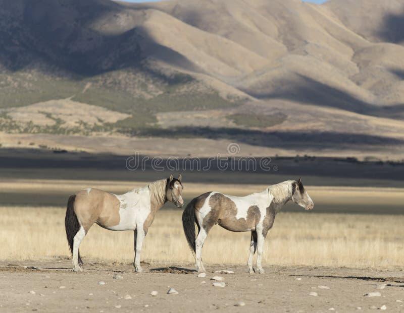 Мустанги табуна Onaqui одичалые в большом тазе пустыни, Юте США стоковые фото